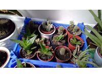 Various cactus + aloe Vera garden plants / home plants