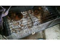 2 x female guinea pigs