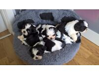 Pedigree Shih Tzu Female , Ready to leave 8 Weeks old :)