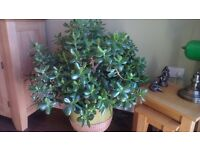 Two well established Jade Plants also known as Money Trees, includes a wheeled coaster.