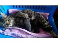 Tabby x kittens for sale