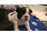 Quality KC registered french bulldog puopies