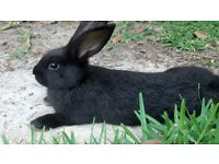Black Flemish Rabbit