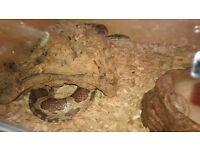 Large corn snake