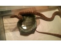 Male Ghost Corn snake CB10