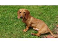 "Male pedigree standard smooth dachshund ""sausage dog"", 7 months puppy."