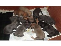 6 Stunning Quality Blue French Bulldog Puppies & Other colours..All carrying Blue..Ready in Feb