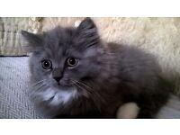 Beautiful little boy blue! Blue Persian/Persian- Burmese cross kitten. Ready to re-home now.