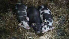 In Pig Kune Kune X Berkshire Pig For Sale