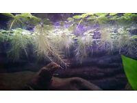 50-60 Pistia Stratiotes Dwarf Water Lettuce Aquarium Fish Tank floating plants