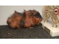 Pure Bred Guinea Pigs For Sale