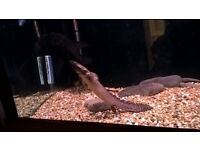 bircher large tropical fish