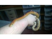 Female Bright Normal Corn snake CB12