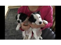 Jack Russell x puppies