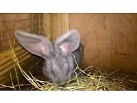 male blue giant rabbit for rehoming