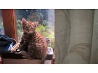 Four Bengal cross Kittens. Nine weeks old.