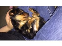 Yorkshire terrier puppy. (Small boy)