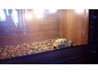 5 year old male horsefield tortoise