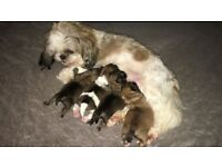 Full shihtzu puppies for sale