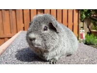 Male guinea-pig for sale