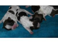 full breed shih tzu pups 4 girls .mum and dad can be seen all pups well marked