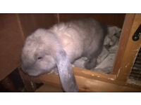 Beautiful blue / grey / brown female giant french lop for sale