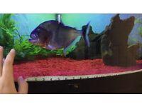 Manny piranha, green tiger piranha, manueli piranha-rare hard to find