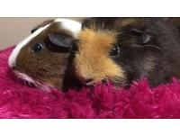 Sad sale 4 guinea pigs and hutch