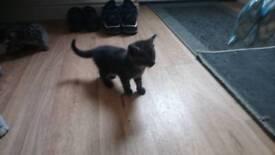 British short hair cross kittens