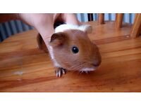 Gorgeous baby guinea pig for sale - CAN BE DELIVERED LOCALLY