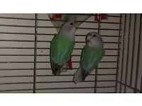 Lovebirds for sale in Ilford