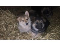 8 week old German shepherd pups for sale
