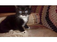 cat for sale female 3 months old