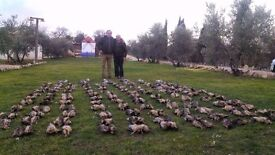 Hunting in Spain cheap: wild boar, red deer, chamois, red-legged(french) partridge