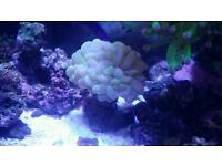 Marine bubble coral