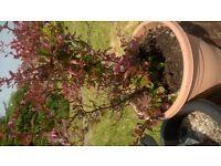 berberis garden plants