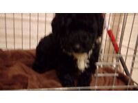black and white miniature poodle girl puppy