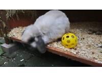 Dwarf mini lop rabbit
