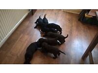 Labradoodle collie puppy puppie pupps puppys 1 still available to reserve male only