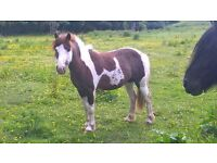 skewbald pony approx 12 hh ride and drive