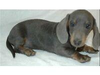 dachshund Puppy blue
