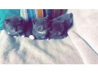 4 half persian kitten's for sale