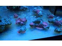 Red Mushroom Coral, Marine Aquarium