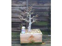 Field maple bonsai tree