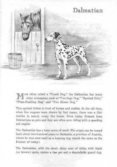 Dalmatian - 1950 Vintage Dog Print - Matted