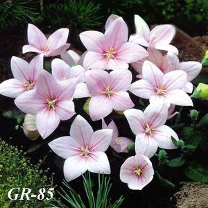 GR-85 / 100 Graines de ASTRA Roses  GGGG
