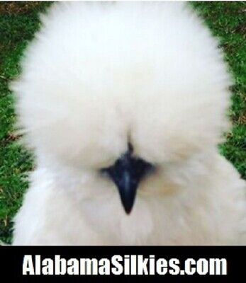 6 Silkie Chicken Hatching Eggs - Npip - Show Quality Silkie Silkie Silkie