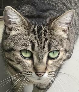 "Young Female Cat - Tabby: ""Jennifer"""