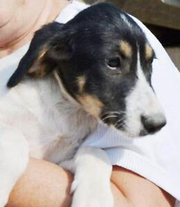 "Young Female Dog - Collie: ""FRAGGY"""