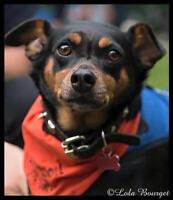 "Adult Male Dog - Miniature Pinscher: ""Misa"""